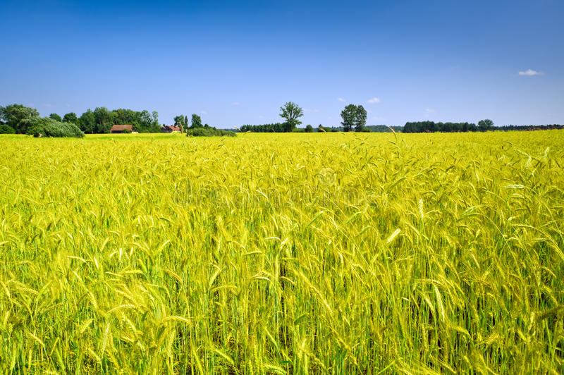 Paisagem do campo com campo de milho foto de stock royalty free