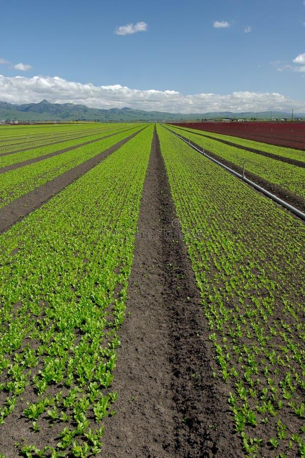 Paisagem do campo da alface: Vertical verde fotos de stock royalty free