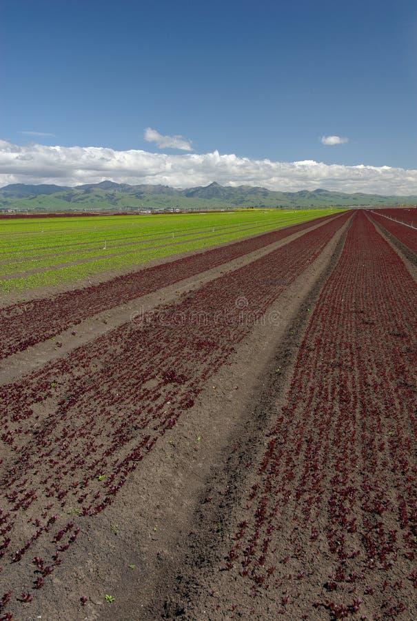 Paisagem do campo da alface: Vertical vermelho fotos de stock