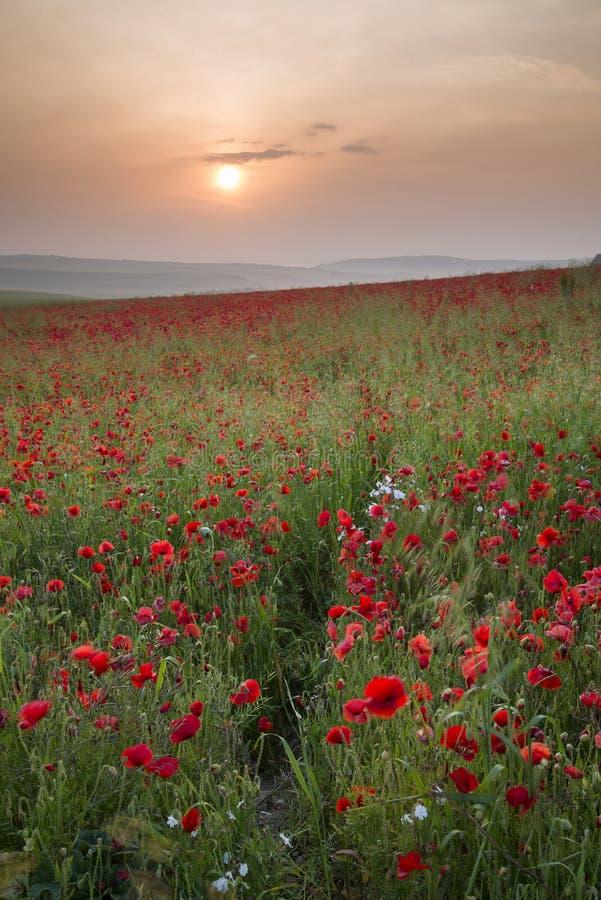 Paisagem do campo da papoila no nascer do sol do campo do verão foto de stock