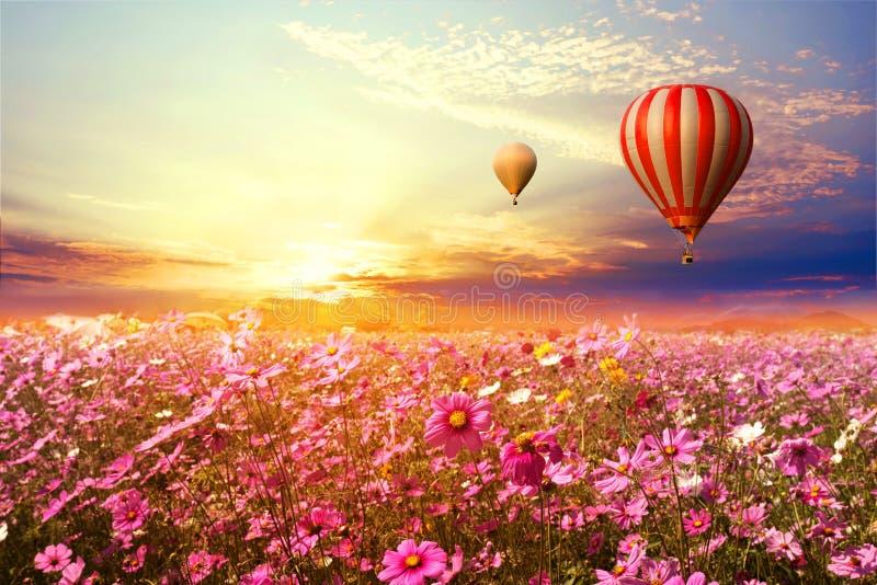 Paisagem do campo de flor bonito do cosmos e do balão de ar quente no por do sol do céu imagens de stock