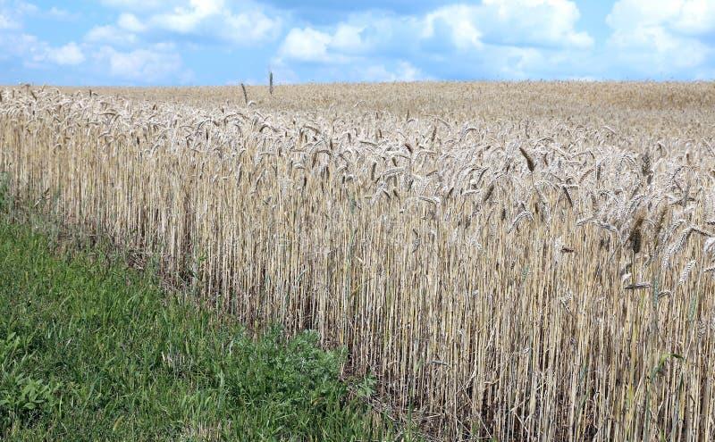 Paisagem do campo de trigo imagens de stock