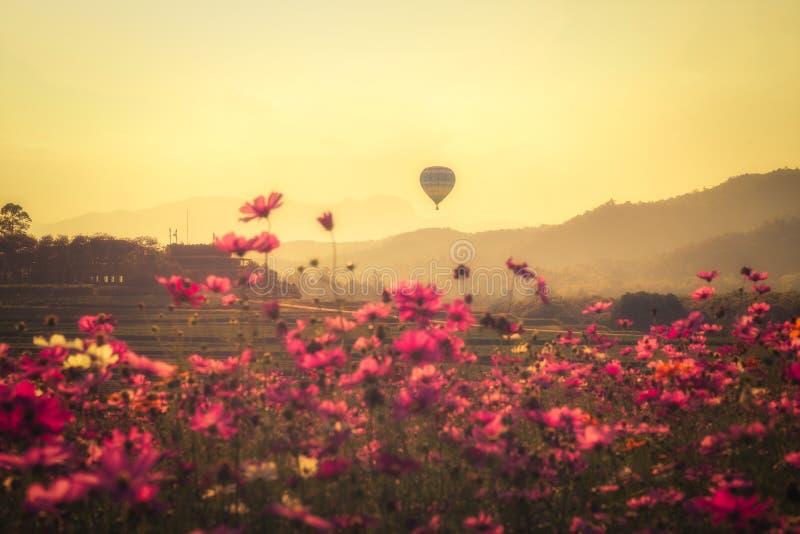 A paisagem do cosmos da beleza floresce e os balões que flutuam no céu durante a edição do vintage do por do sol fotos de stock