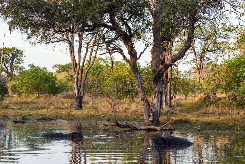 Paisagem do delta de Okavango com os dois hipopótamos na água imagem de stock