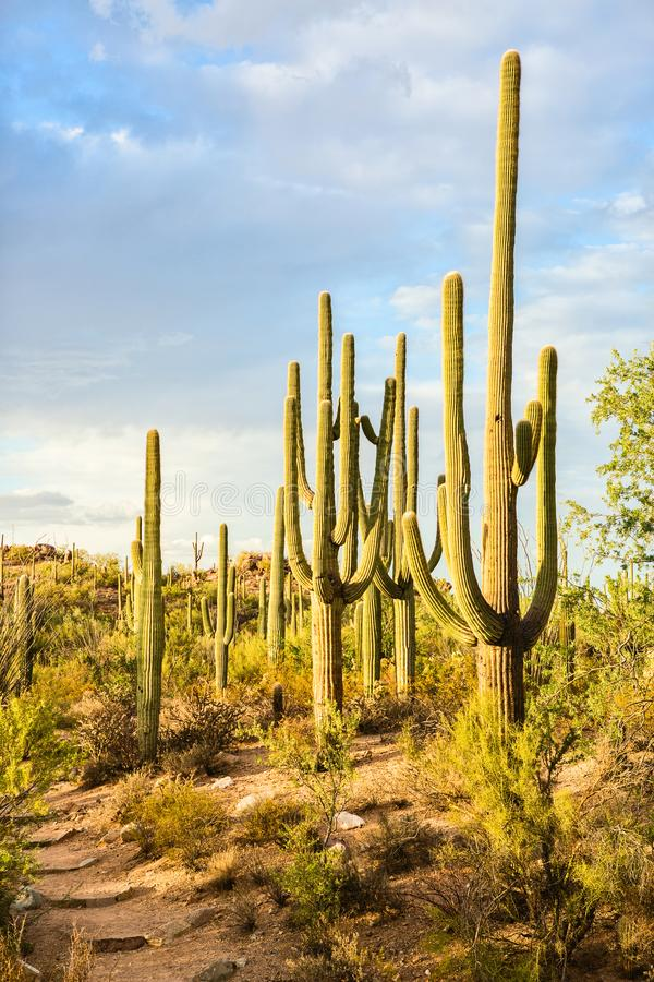 Paisagem do deserto com cactos do Saguaro, parque nacional de Sonoran de Saguaro, o Arizona do sudeste, Estados Unidos foto de stock