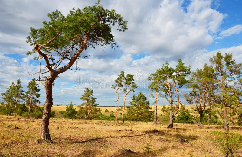 Paisagem do estepe com pinheiros imagem de stock royalty free