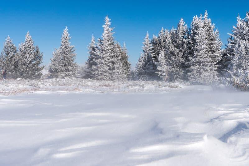 Paisagem do inverno do campo coberto de neve e da floresta pequena dos pinheiros no fundo fotografia de stock royalty free