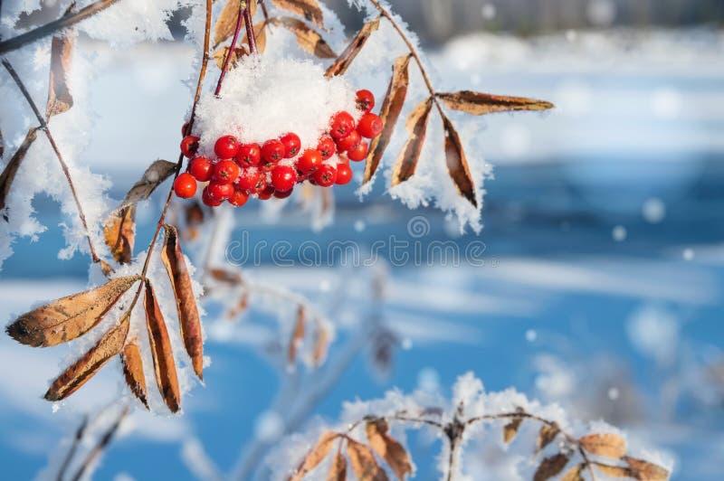 Paisagem do inverno com a cinza de montanha coberto de neve imagem de stock