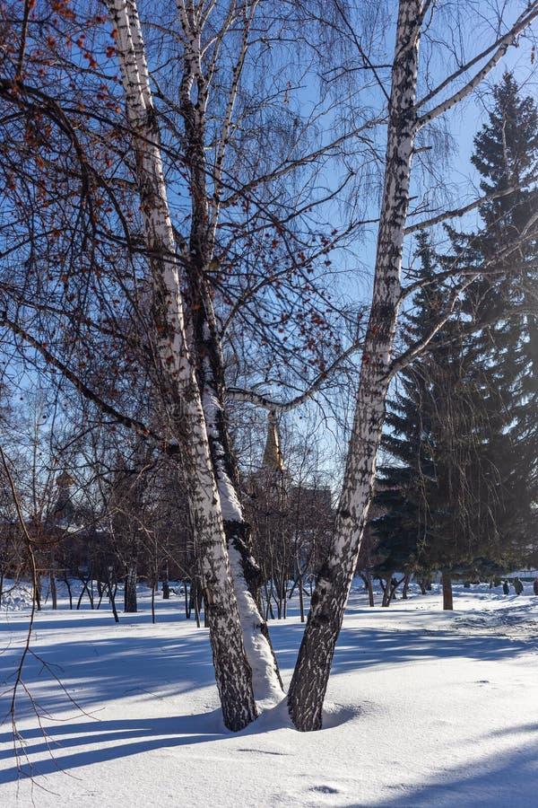 Paisagem do inverno com os vidoeiros no quadrado de Narymsky em Novosibirsk, Rússia fotografia de stock