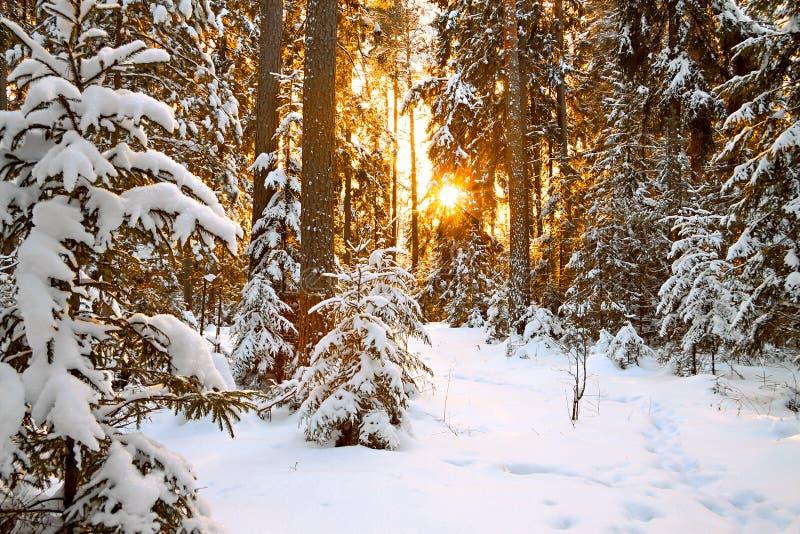 Paisagem do inverno com por do sol na floresta fotos de stock