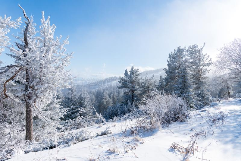 Paisagem do inverno da floresta das árvores coníferas, Vitosha, Bulgária fotografia de stock