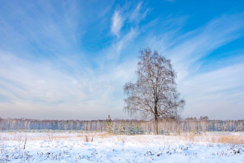Paisagem do inverno da posição da árvore de vidoeiro na borda da floresta imagens de stock