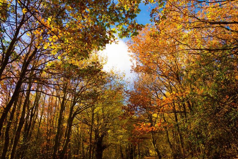 Paisagem do outono do árvores outonais coloridas com um céu azul bonito atrás Aguilar de Campoo imagens de stock