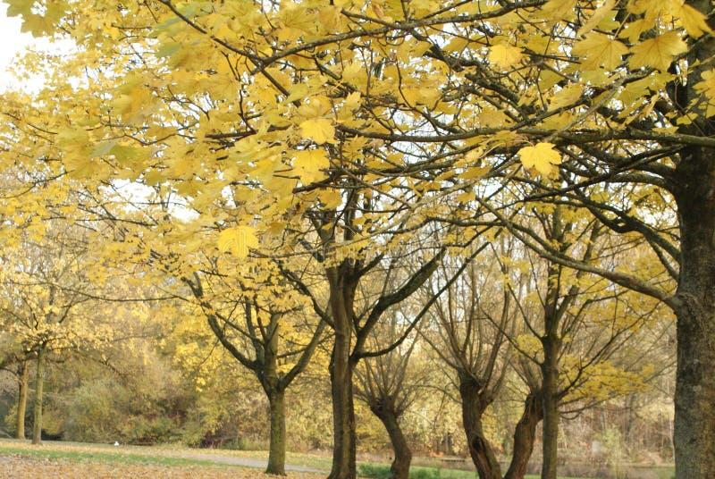 Paisagem do outono com árvores amarelas fotografia de stock royalty free