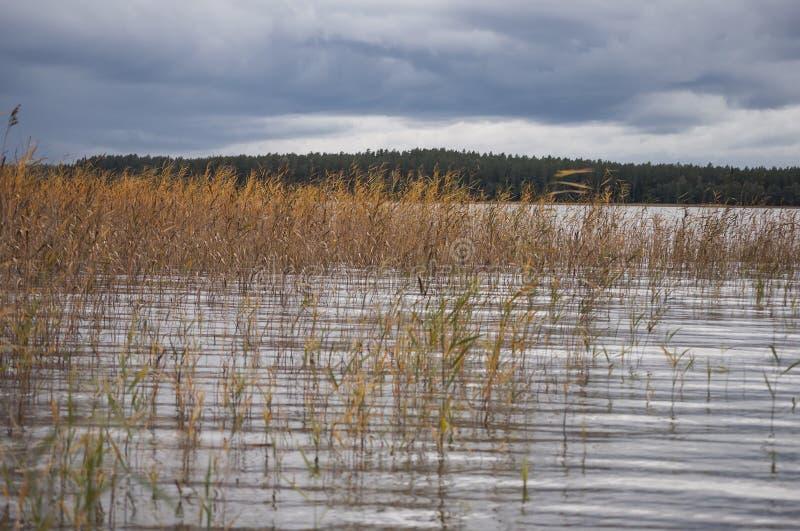 Paisagem do outono com as nuvens de chuva escuras e os juncos coloridos que crescem na água do lago foto de stock