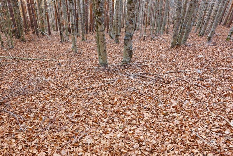 Paisagem do outono com a floresta da faia sem as folhas na Espanha fotos de stock royalty free