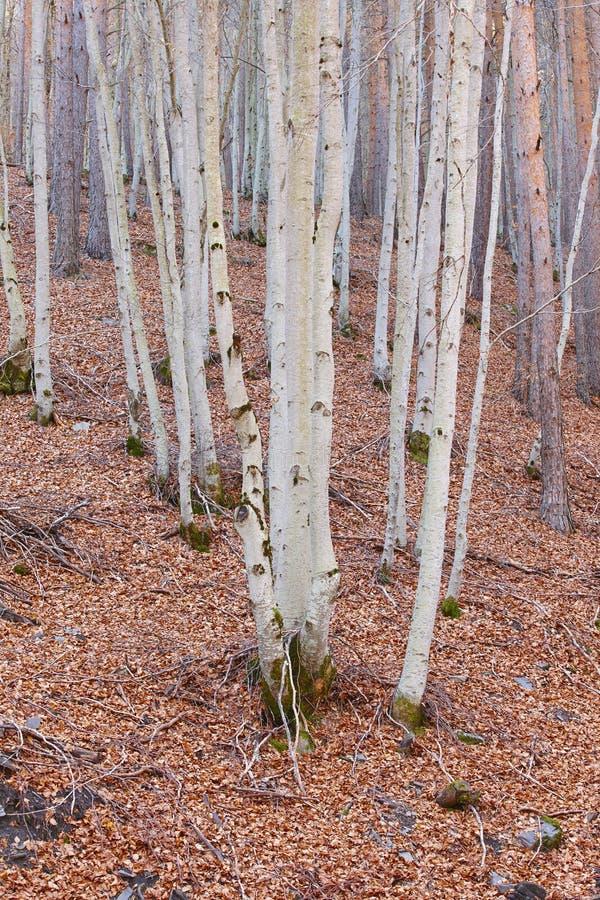 Paisagem do outono com a floresta da faia sem folhas Tejera Negra fotos de stock