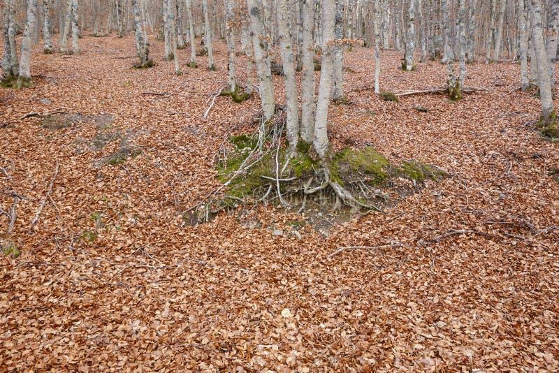 Paisagem do outono com a floresta da faia sem folhas Tejera Negra imagem de stock royalty free