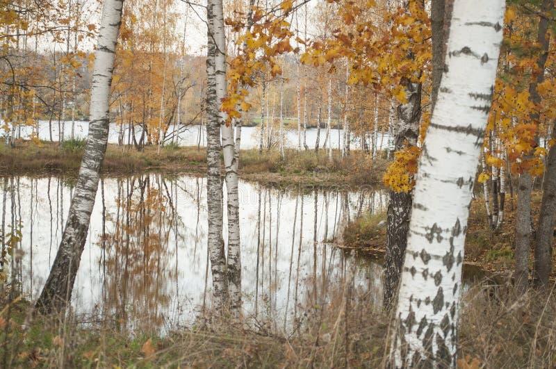 Paisagem do outono com reflexão das árvores de vidoeiro na água imagem de stock royalty free