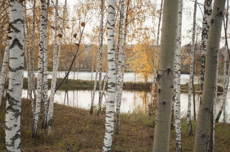 Paisagem do outono com reflexão das árvores de vidoeiro na água do rio imagem de stock