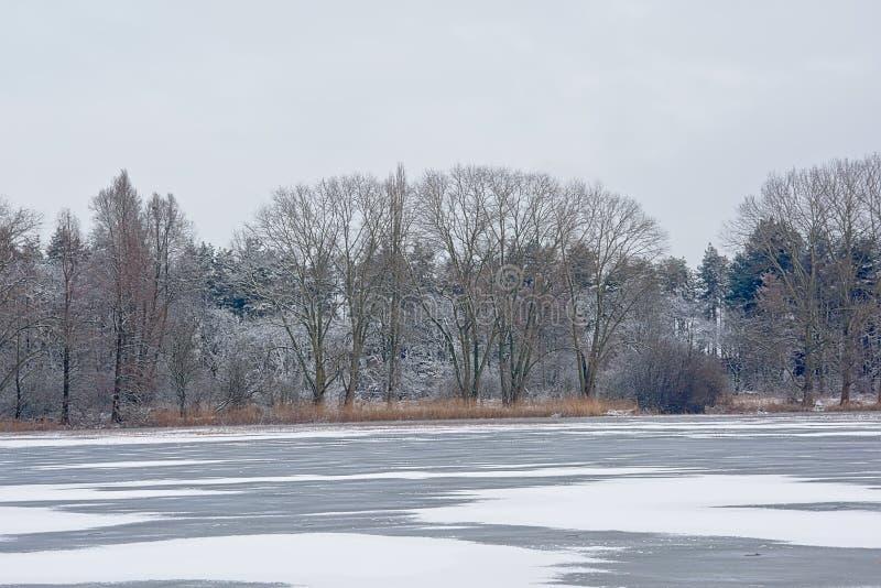 Paisagem do pântano com as árvores desencapadas do inverno e coberta na neve e na associação com o junco imagem de stock