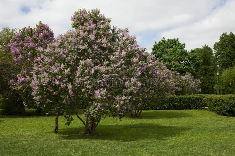 A paisagem do parque da primavera com lilás de florescência floresce a árvore Vida do dia ensolarado ainda foto de stock