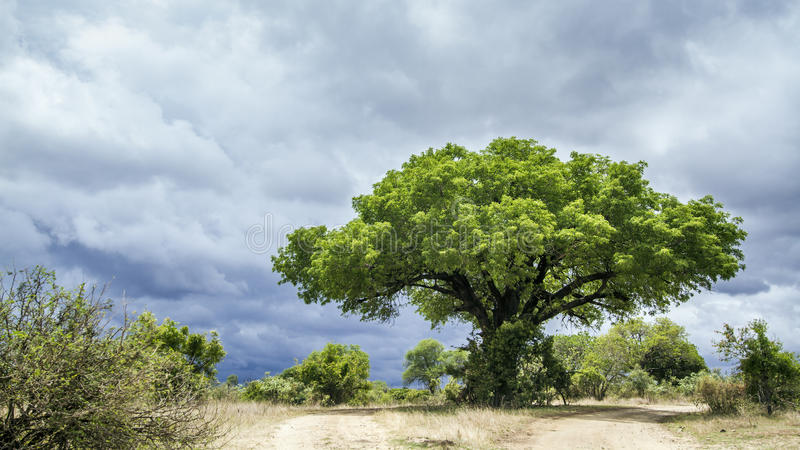Paisagem do parque nacional de Kruger, África do Sul imagens de stock