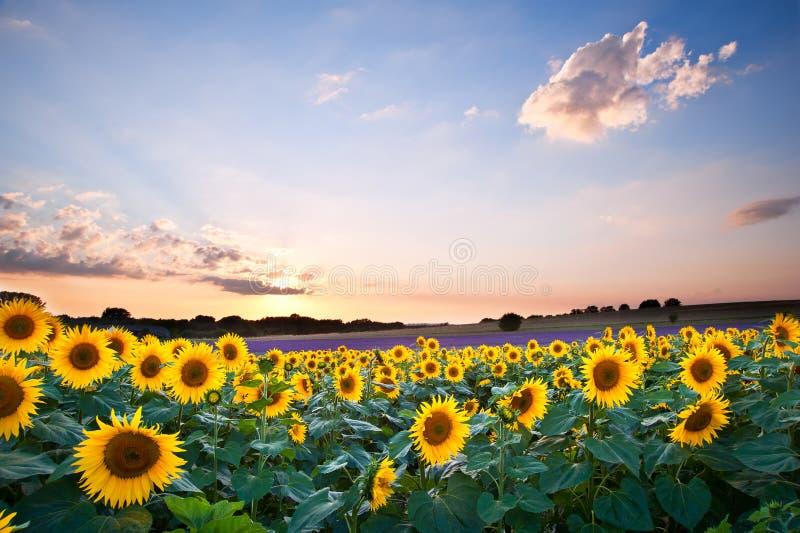 Paisagem do por do sol do verão do girassol com céus azuis fotos de stock