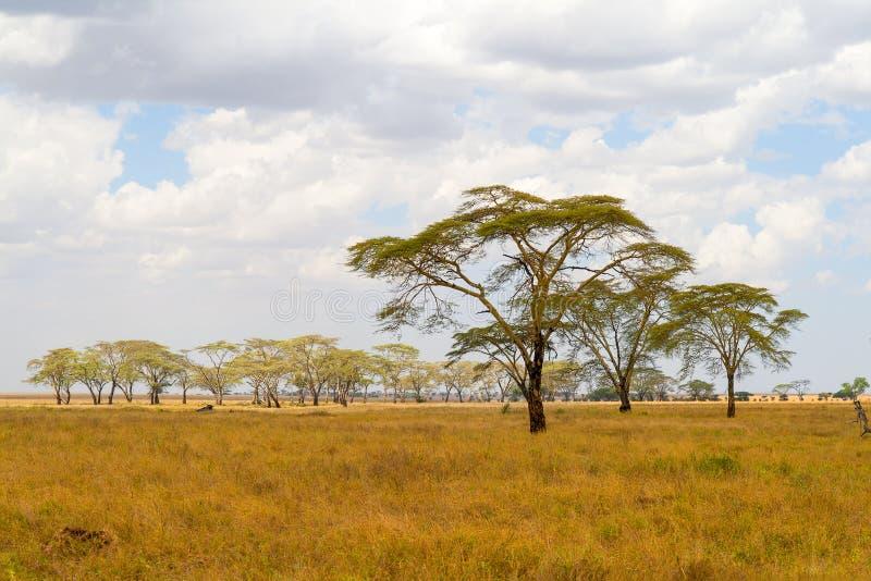 Paisagem do savana com pastagem e árvores em África fotografia de stock royalty free