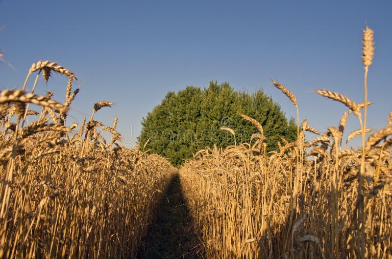 Paisagem do trigo de amadurecimento na extremidade do verão imagem de stock royalty free