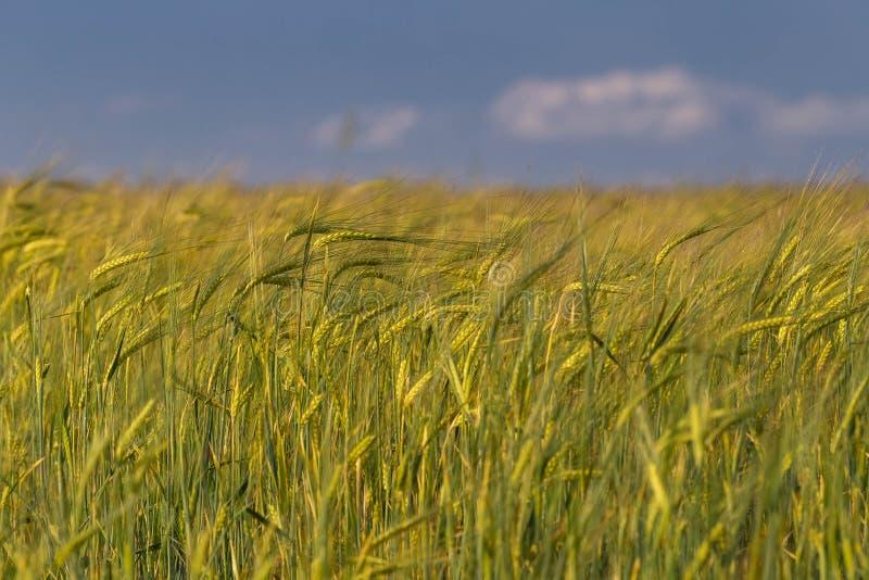Paisagem do verão com campo de trigo no dia ensolarado com céu azul e algumas nuvens brancas imagens de stock