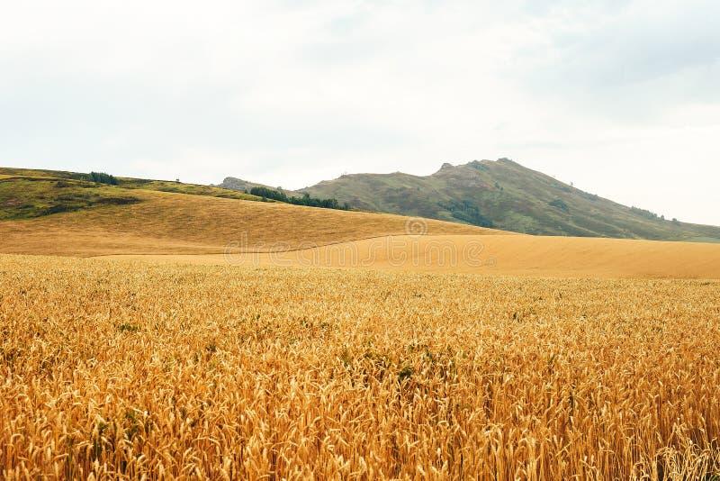 Paisagem do verão com campo e nuvens de trigo fotografia de stock