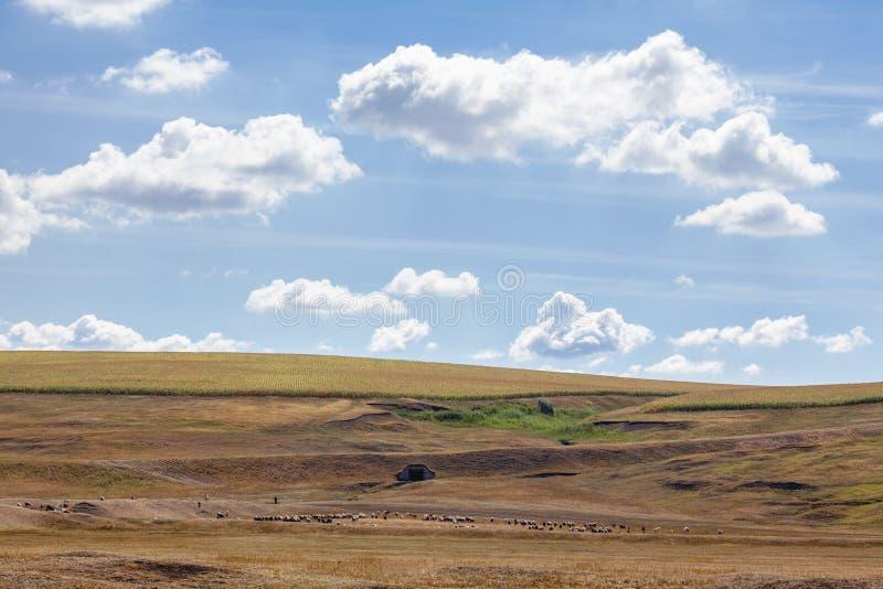 Paisagem do verão com o rebanho dos carneiros fotografia de stock royalty free