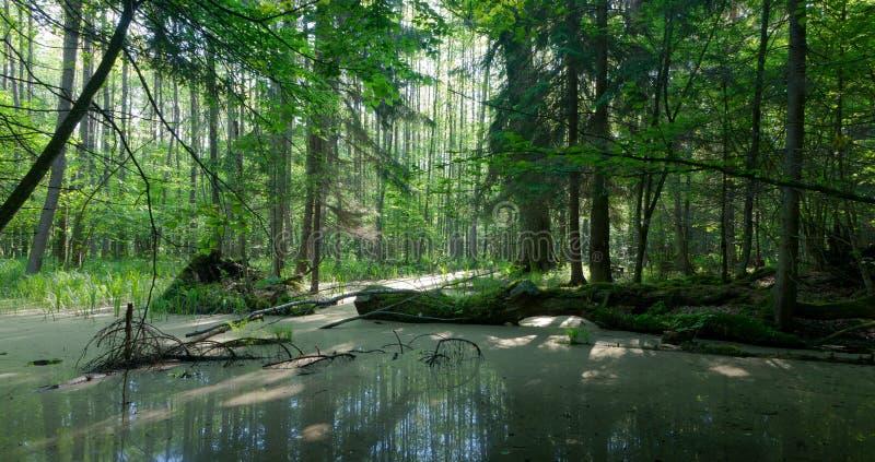 Paisagem do verão da floresta velha e de árvore quebrada fotografia de stock royalty free