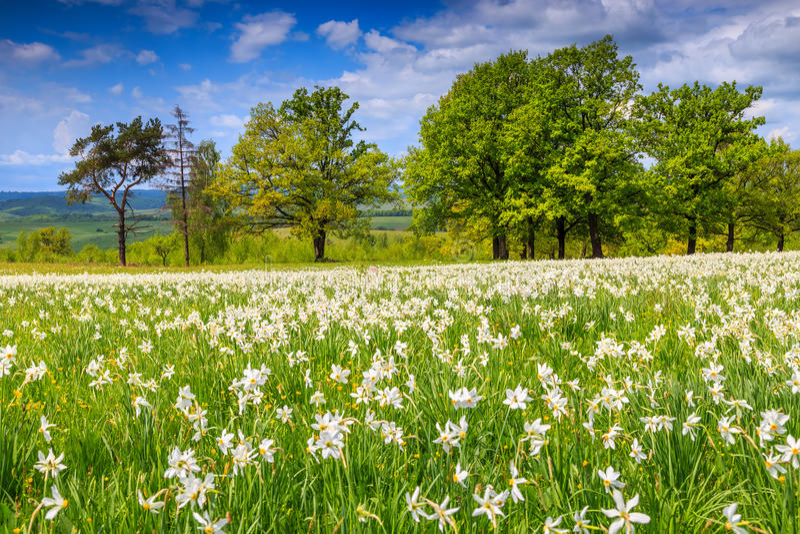Paisagem do verão e flores brancas dos narcisos amarelos fotos de stock royalty free