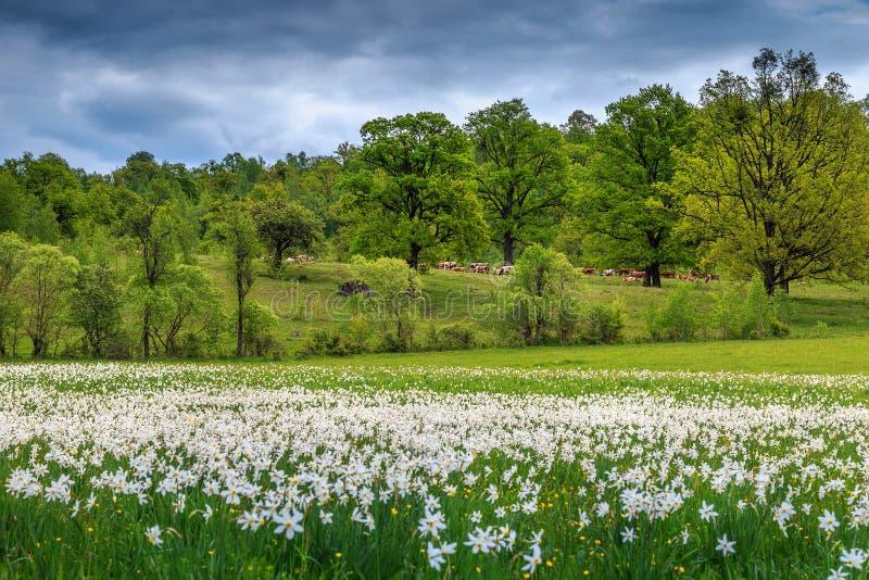 Paisagem do verão e flores brancas dos narcisos amarelos fotografia de stock royalty free