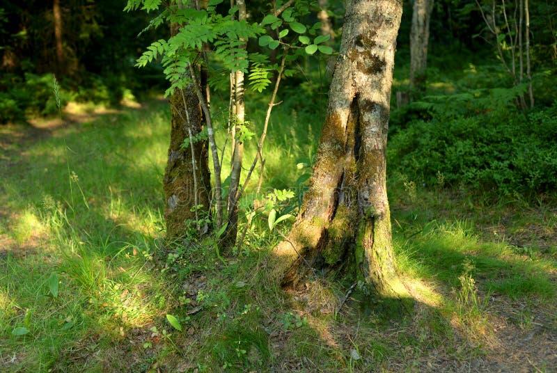 Paisagem do verão na floresta imagem de stock royalty free