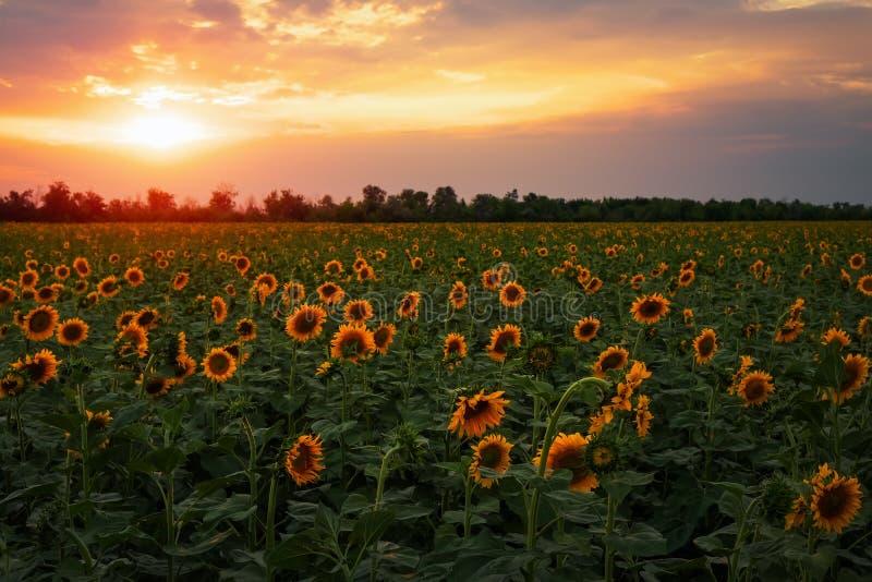 Paisagem do verão: por do sol sobre o campo dos girassóis imagens de stock royalty free