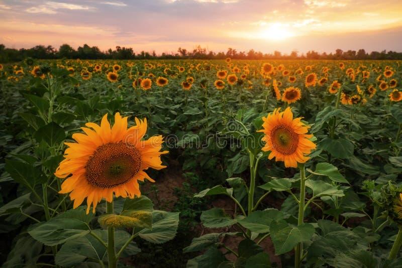 Paisagem do verão: por do sol sobre o campo dos girassóis fotos de stock