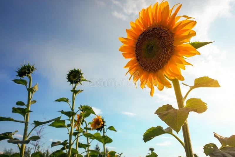 Paisagem do verão: por do sol sobre o campo dos girassóis fotografia de stock royalty free