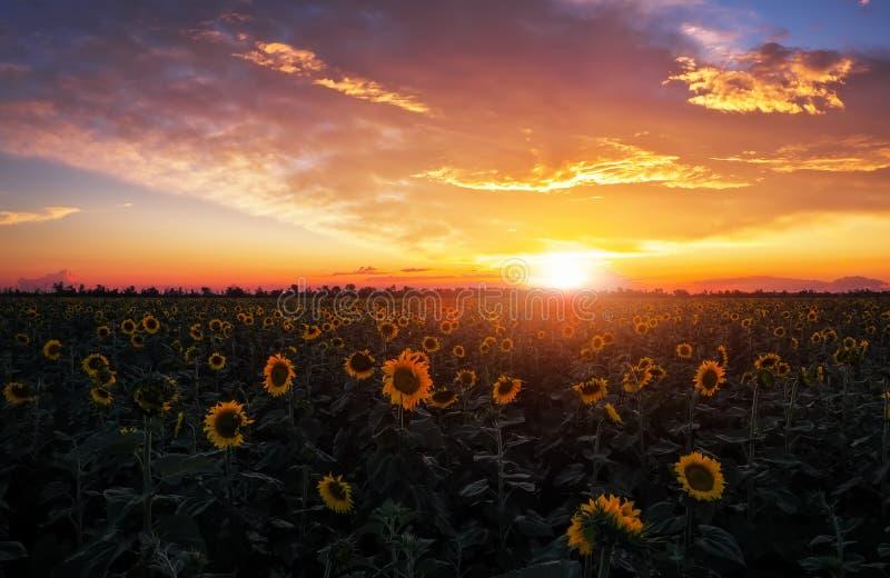 Paisagem do verão: por do sol sobre o campo dos girassóis imagens de stock