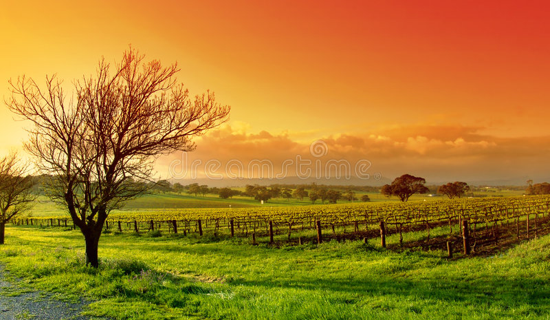 Paisagem do vinhedo fotografia de stock royalty free