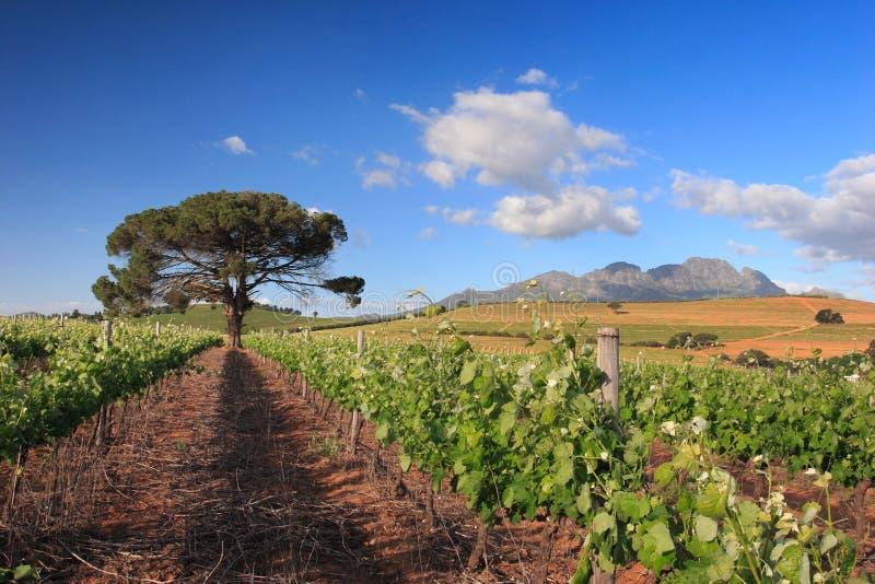 Paisagem do vinhedo com árvore e a montanha solitárias fotos de stock royalty free