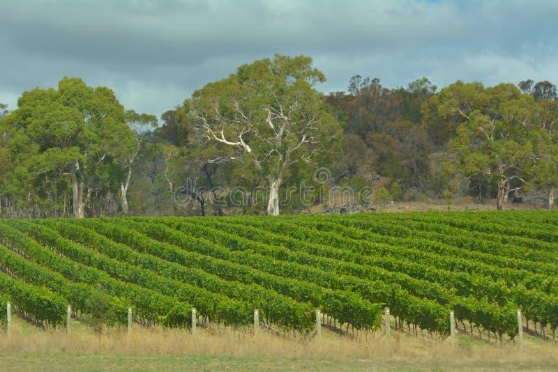 Paisagem do vinhedo em Tasmânia Austrália fotografia de stock royalty free