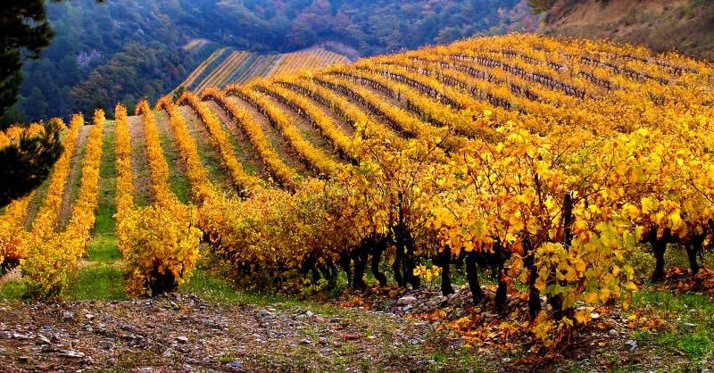 Paisagem do vinhedo no outono imagens de stock