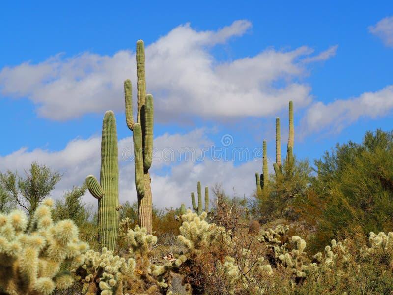 Paisagem dos cactos do deserto do Arizona imagens de stock