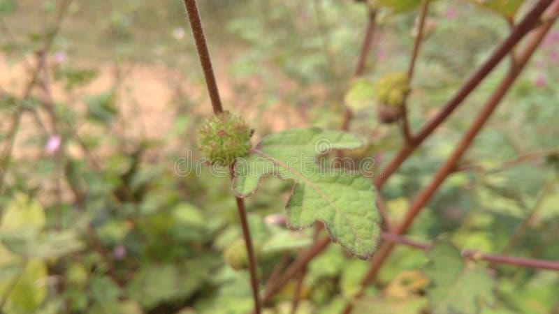 a paisagem dos greenleaves planta frutos da monção fotografia de stock royalty free