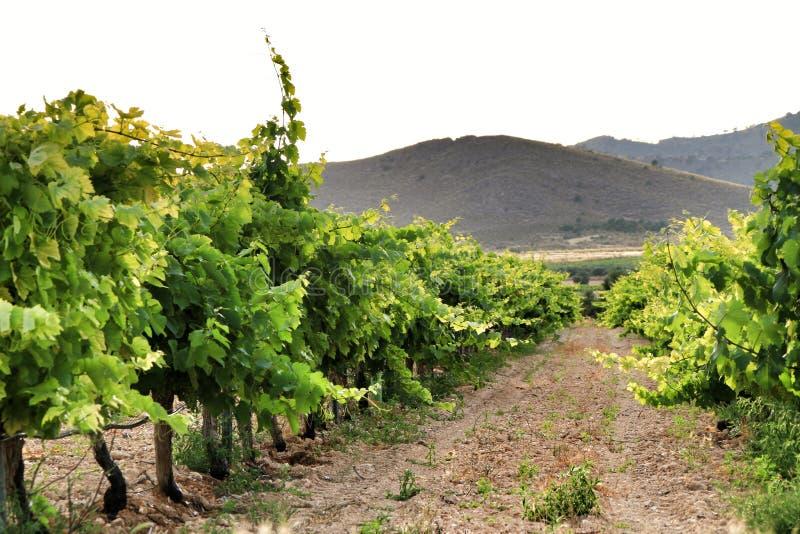 Paisagem dos vinhedos província em Jumilla, Múrcia imagem de stock royalty free
