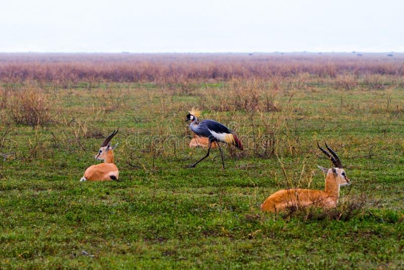 Paisagem e animais selvagens da área da conservação de Ngorongoro imagem de stock