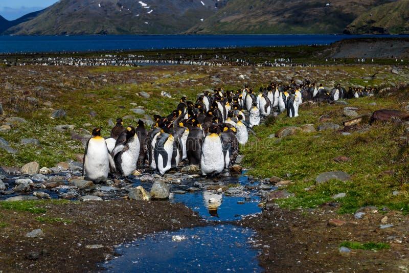 Paisagem ensolarada bonita com grande colônia do rei Penguin, pinguins que estão no córrego que conduz para trás para o ocean imagens de stock royalty free